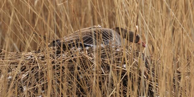 Graugans auf nest IITank