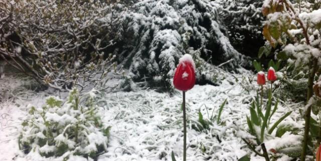 später Wintereinbruch Schnee auf Tulpen