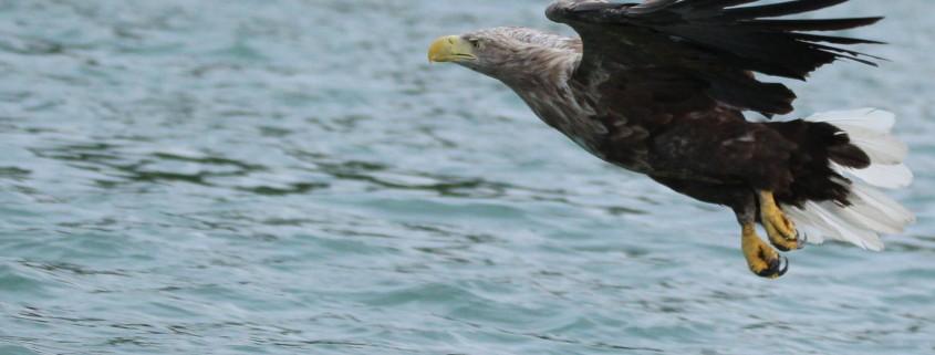 Seeadler bei der Jagd (Mecklenburg-Vorpommern 2018, Foto: Klaus Börgmann)